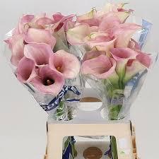Lily Vases Wholesale Uk Calla Lily Captain Rosette 60cm Wholesale Dutch Flowers