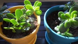 Rooting A Jade Plant Starting A Jade Plant From A Cutting