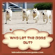 funny labrador dog memes view gallery of funny labrador memes
