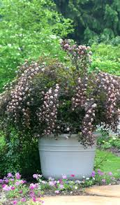 native pot plants 47 best shrubs for containers images on pinterest proven winners