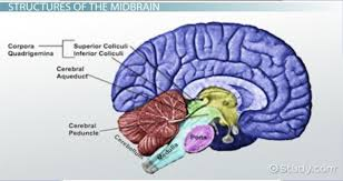 Thalamus Part Of The Brain Midbrain Definition Function U0026 Structures Video U0026 Lesson