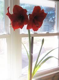 amaryllis or hippeastrum how to grow and bloom again dengarden