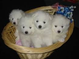 american eskimo dog toy for sale american eskimo puppies for sale