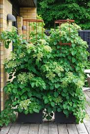 Trellis For Climbers 24 Best Vines For Containers Climbing Plants For Pots Balcony