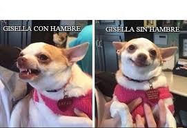 Memes De Chihuahua - gisella con hambre chihuahua enojado y feliz meme en memegen