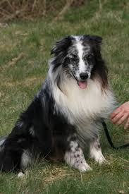 australian shepherd not eating mdr1 faqs australian shepherd health u0026 genetics institute
