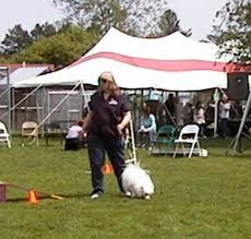 afghan hound agility may 21 2005 canine carnival