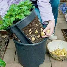 Container Gardening For Food - make a potato pot by cutting out the sides of a plant pot and