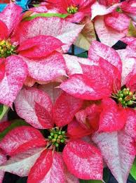 lafayette florist 25 best blomme poinsettias images on poinsettia