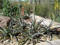 usda native plants silver leopard spice lily monrovia silver leopard spice lily