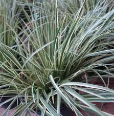 acorus gramineus variegatus 3 x 9cm potted ornamental grass