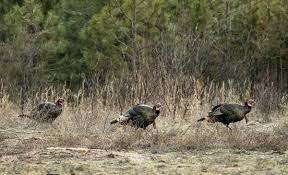 Louisiana is it safe to travel to turkey images Turkey hunting the evening shift turkey hunting realtree jpg