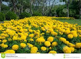 flowers in garden images marigold flower garden stock image image 28560011
