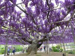 wisteria vine learn how to grow and care for wisteria vines how