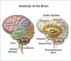 Thalamus Part Of The Brain Brain Tumor Wikipedia