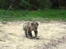 Angry Koala Meme - angry koala youtube