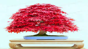 20 bonsai blue maple tree seeds bonsai tree seeds rare sky blue