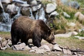 Bears Montana Hunting And Fishing - wyoming griz hunt to target fringe zone bears montana hunting