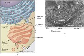 the cytoplasm and cellular organelles anatomy and physiology i