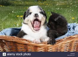 australian shepherd sheltie mix animal friendship kitten and an australian shepherd puppy in a