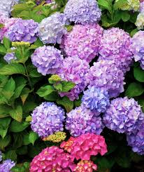 hydrangea flowers how to care for hydrangeas real simple