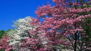 download wallpaper 1920x1080 spring trees flowering pink white