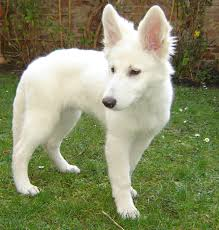 belgian shepherd for sale philippines 45 very beautiful white german shepherd pictures and images