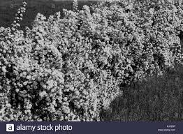 Tree With Little White Flowers - bush with small white flowers on a branches in nature note