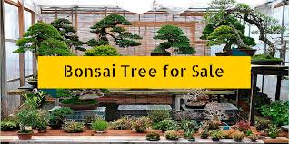 how to find no 1 bonsai tree for sale use these 35 simple tips
