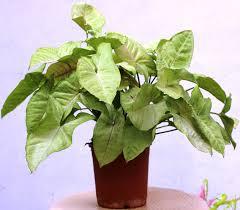 syngonium plant care