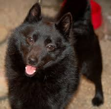 belgian shepherd health problems schipperke wikipedia