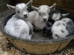 182 best goat therapy images on pinterest sheep baby goats and