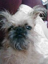 affenpinscher and chihuahua i found festus on to be read more and about me