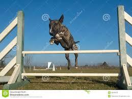 american pitbull terrier jumping jumping bull terrier stock photo image 50648430