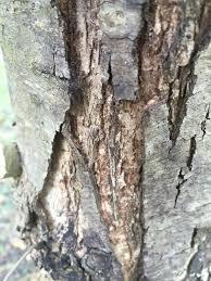 White Oak Bark White Oak Bark And Leave Issues Ask An Expert
