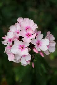 Phlox Flower Phlox Flower