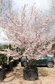 prunus accolade ornamental cherry tree shrub majestic trees
