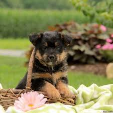 puppies for sale pa puppies for sale in pa find your puppy at greenfield puppies