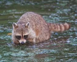 Arkansas wildlife tours images Arkansas wildlife raccoon google search pictures for drawing jpg