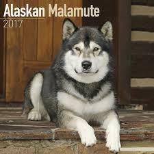 belgian shepherd x alaskan malamute amazon com alaskan malamute dog breed calendar wall calendar