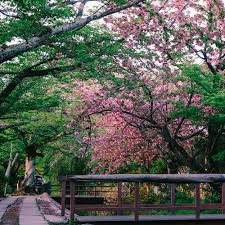 guide to viewing cherry blossoms in not a nomad