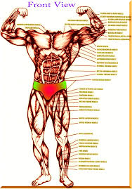 muscle archives page 8 of 36 human anatomy chart