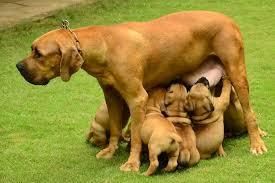 belgian shepherd south africa south african boerboel price in india south african boerboel puppy