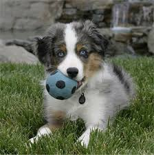 australian shepherd gray follow the piper australian shepherd dogs