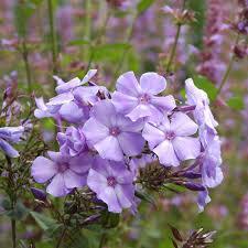 phlox flower phlox paniculata blue paradise white flower farm