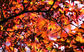 free fall wallpaper for computer golden leaves fall background wallpaper