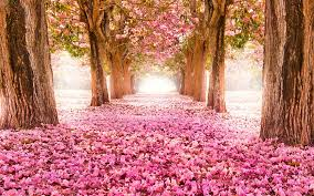 pink blossom trees 6946476