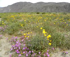 spring wildflowers at california u0027s anza borrego state park lou