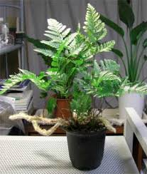 what are different ferns to grow as houseplants