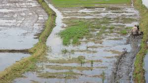 lexus philippines jobs preparing for rice crop planting 3 philippines youtube